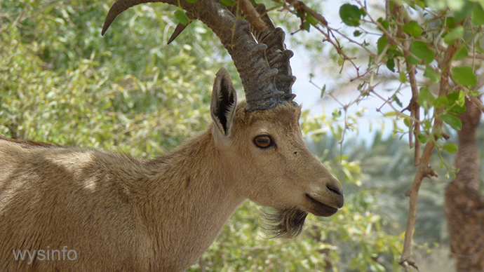Ibex in Ein Gedi by the shore of the Dead Sea