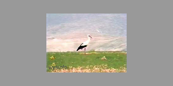 Stork by the Dead Sea